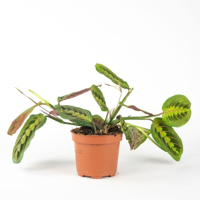Plante qui prie
