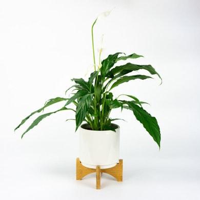 Trio de Plantes Dépolluantes de Grande Taille