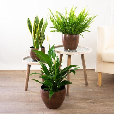 Trio de plantes Doux rêves
