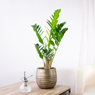 Plante ZZ
