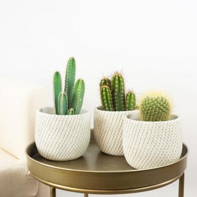 Trio Cactus Inmortal