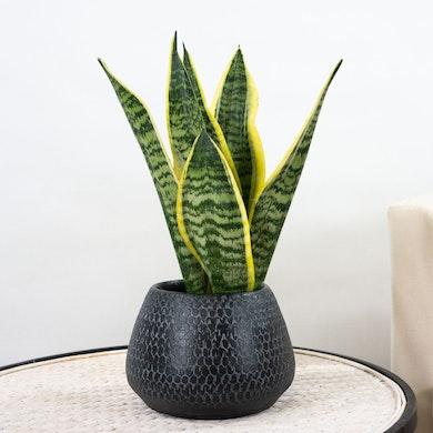 Planta Serpiente