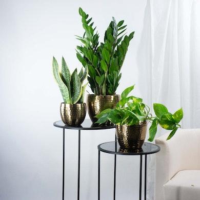 Trio de Plantes Dépolluantes Élégantes