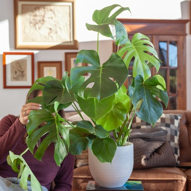 Monstera Deliciosa - Plante à Trous