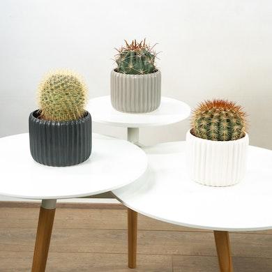Trio de Cactus con Macetero