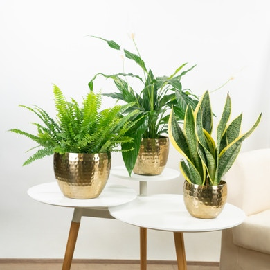 Trio de plantes Sweet Dreams