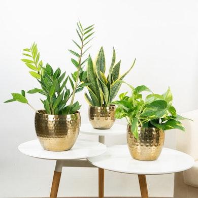 Trio de Plantas: Purificadoras Elegantes