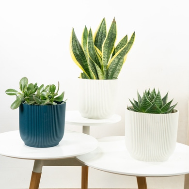 Trio de plantes porte-bonheur