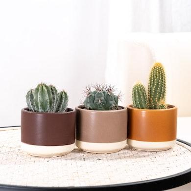 Trio Cactus Rustic