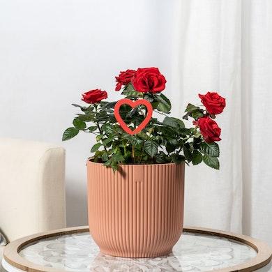 Mini rosier rouge