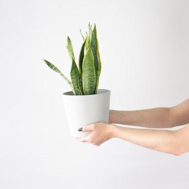 La Plante Serpent