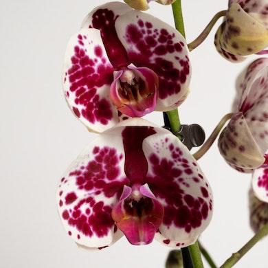 Orquídea Tigre