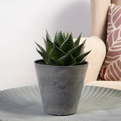 Aloe Salvaje
