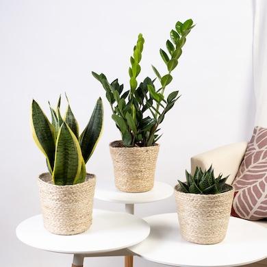 Trio de plantes Les Immortelles
