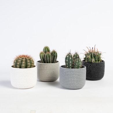 Set Cactus Tenerife