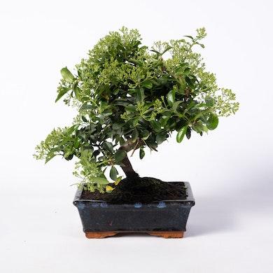 Bonsai 8 anni Pyracantha sp. ZP-b2