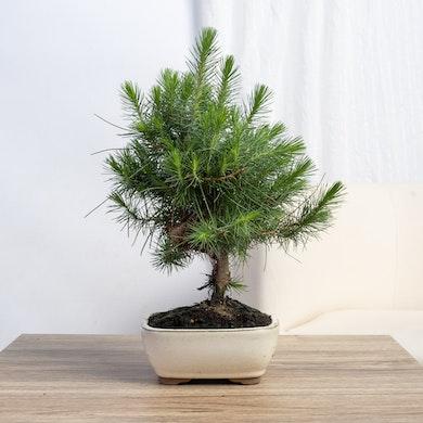 Bonsaï 7 ans Pinus halepensis