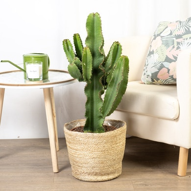 Euphorbia Eritrea