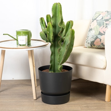 Cactus Euphorbia Eritrea