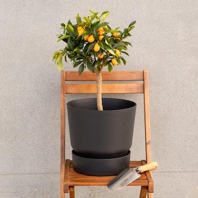 Naranjo Japonés
