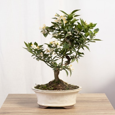 Bonsai Citrus Myrtifolia 12 anni