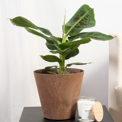 Bananier Musa Tropicana