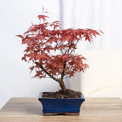 Bonsái 7 años Acer palmatum atropurpureum