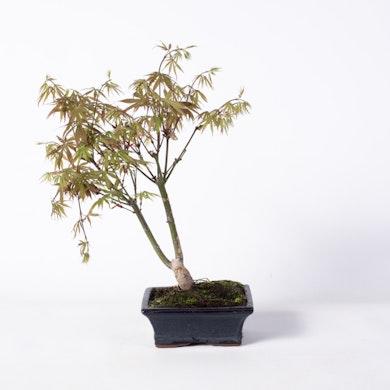 Bonsaï 7 ans Acer palmatum deshojo
