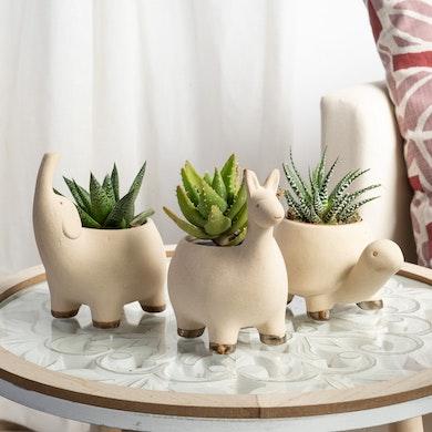 Trio Succulente Safari