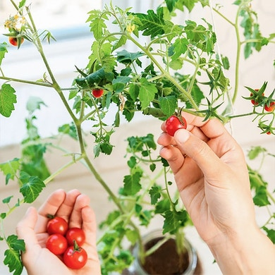 Kit Cultivo Tomate Cherry