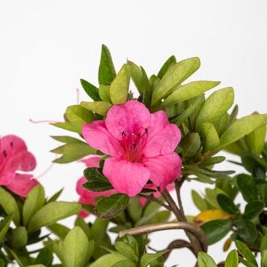 Bonsái 7 años Rhododendron indicum