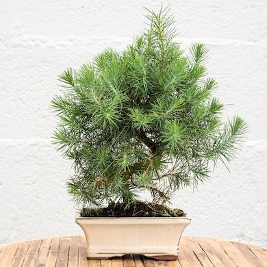 Bonsai 7 anni Pinus Halepensis