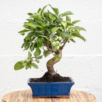 Bonsai 10 anni Malus sp