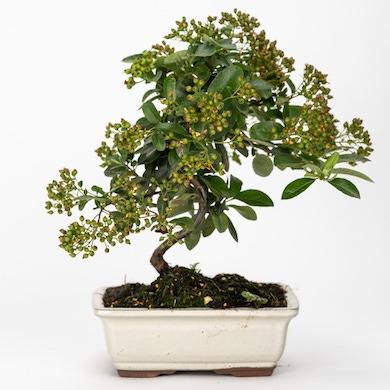 Bonsai 7 anni Pyracantha sp.