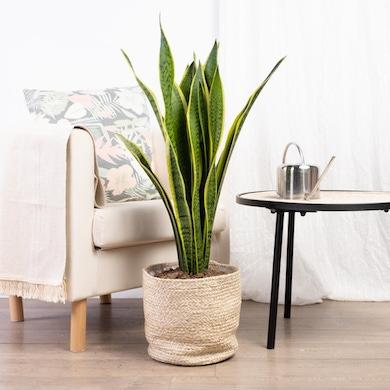 Planta Serpiente XL